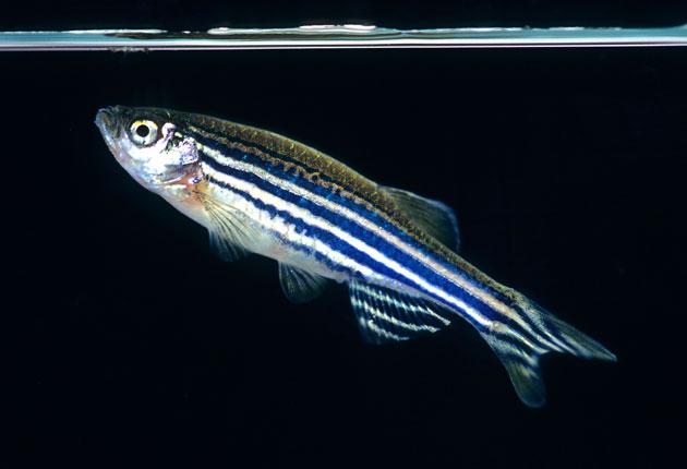 El desarrollo del pez cebra
